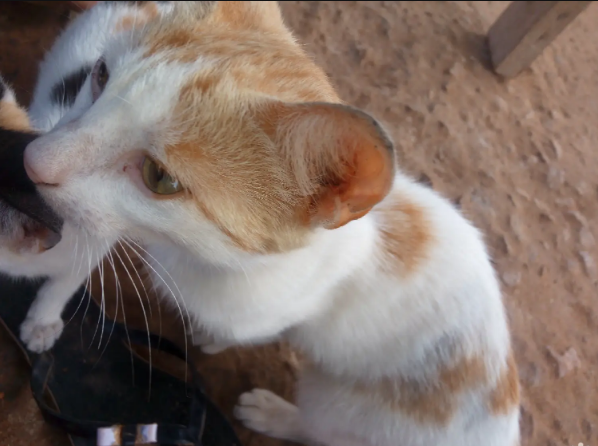 Adult Male Mixed Breed Cat