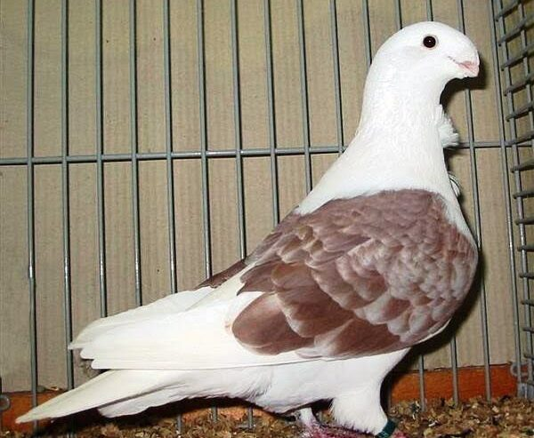 Healthy Caged Pigeons
