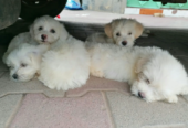 Baby Male Purebred Poodle