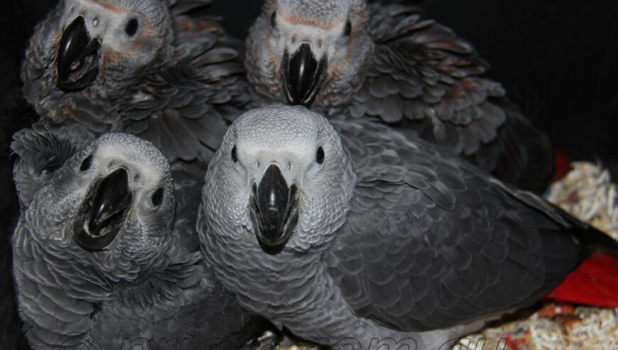 Congo African Grey Chick